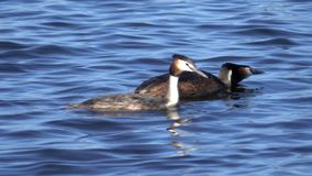 Grebe birds hunts for a fish stock video