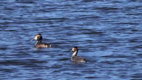 Grebe birds pair swims on the lake stock video footage