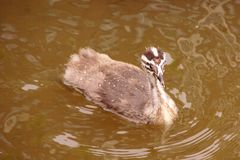 Grebe crêté grand Photos stock