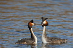 Grebe crêté grand de couples Photographie stock libre de droits