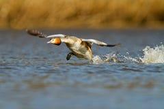 Grebe crêté grand, waterbird (cristatus de Podiceps Image stock