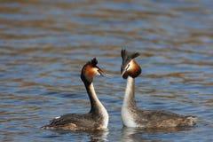 grebe crested парами большой Стоковая Фотография RF