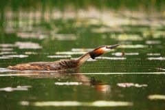 Grebe crested swiming in the lake Royalty Free Stock Image