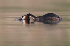 Grebe cristatus Podiceps большой Crested стоковые фото