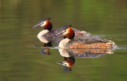 Grebe duck Podiceps cristatus Stock Photography