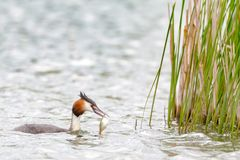 Grebe with fish in beak. Great crested grebe Podiceps cristatus in spring on a lake bringing fish to feed his young chicks in a nest stock images
