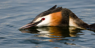 Grebe (Fuut) defending. Royalty Free Stock Photos