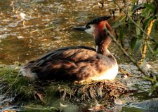 Grebe on nest. Bird wildlife nature Stock Images
