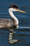 Grebe occidental Photo libre de droits