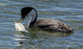 Grebe occidentale Fotografia Stock