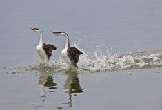 Grebe occidentale sul lago Fotografia Stock
