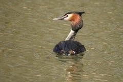 Grebe, Podiceps cristatus. A waterbird. Podiceps cristatus, the Grebe is a waterbird that hunts for fish royalty free stock images