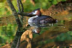 Grebe in Reflections 1. A great crested grebe near the river Stock Images