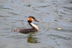 A grebe on a river in England UK Royalty Free Stock Image