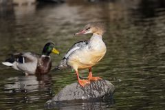 A Grebe stands on a rock. With mallard in the background royalty free stock photos