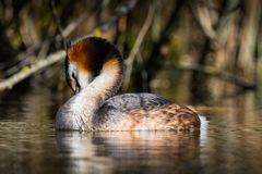 Grebe toeleting. A photo of grebe wile birdwatching session into the wild royalty free stock photography