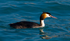 Grebe Stock Photos
