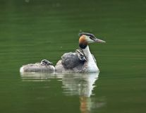 grebes Photographie stock