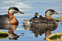 Grebes chicks going for a ride Stock Images