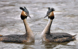 Grebes couple Stock Photography