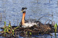 Grebes mom on nest Royalty Free Stock Images