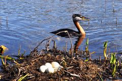 Grebes and nest Royalty Free Stock Image