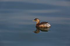 Grebes Stock Images