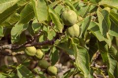 Greccy orzechy włoscy wieszają i dojrzewają na gałąź drzewo fotografia royalty free