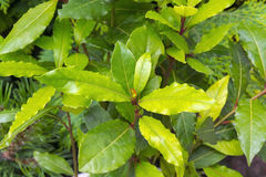 Grecian laurel (Laurus nobilis) Stock Images