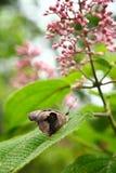 Grecian Shoemaker butterfly Stock Photos