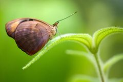 Grecian Shoemaker butterfly Royalty Free Stock Image