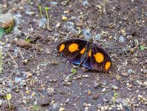 Grecian shoemaker butterfly lying on the ground. stock image
