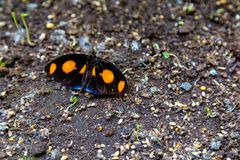 Grecian shoemaker butterfly lying on the ground. royalty free stock images