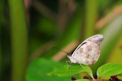Grecian Shoemaker butterfly (underside) Royalty Free Stock Photos