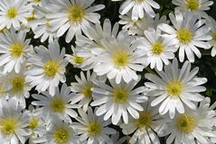 Anemone blanda White Splendour Royalty Free Stock Photography