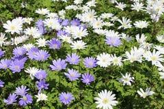 Grecian Windflowers - Anemone Blanda Στοκ εικόνες με δικαίωμα ελεύθερης χρήσης
