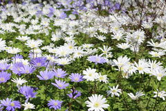 Grecian Windflowers - Anemone Blanda royalty-vrije stock foto
