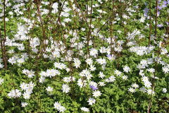Grecian Windflowers - Anemone Blanda Royalty Free Stock Image