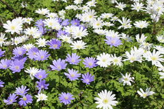 Grecian Windflowers - Anemone Blanda Royalty Free Stock Images