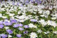 Grecian Windflowers - Anemone Blanda Royalty Free Stock Photo