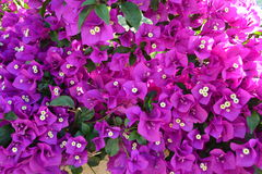 Grecja kwiaty Zdjęcia Stock