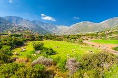 Grecja wiejski krajobraz: kierdel cakle na obszarach trawiastych w dolinie i górach Obrazy Royalty Free