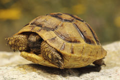 Grecki turtoise w naturalnym siedlisku Obraz Stock