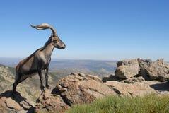 Gredos. Mountains and fauna-Avila, Spain Royalty Free Stock Photo