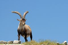 Gredos-fauna Stock Afbeeldingen