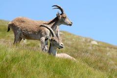 Gredos Mountains and fauna. Avila, Spain Royalty Free Stock Photo