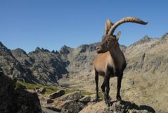 Gredos Mountains and fauna Royalty Free Stock Photo