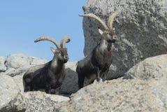 Gredos Mountains and fauna. Avila, Spain Royalty Free Stock Image