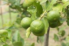 Gree cytryny drzewo obrazy stock