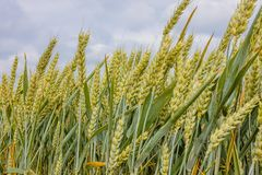 Gree ears in the field, close-up. Green wheat on the field with clouds and blue sky , close-up Royalty Free Stock Photography